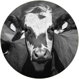 cattle-feed